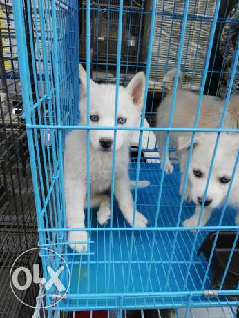Siberian husky puppies 2 month special offer المرفأ -  4