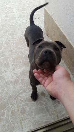 Pure blue nose American pit bull for sale