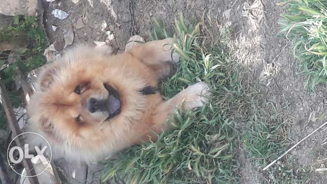 Male chow chow