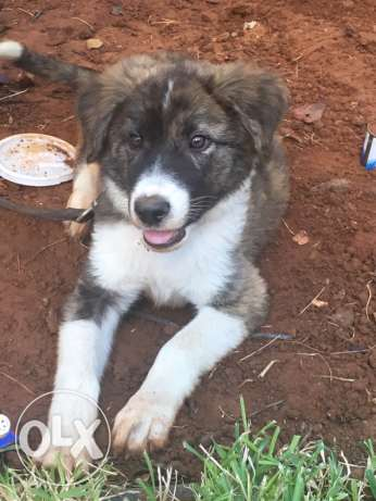 akita mix sale or trade الشياح -  2