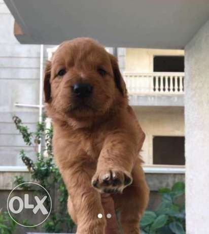 Imported pure golden retriever puppies