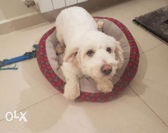bichon puppie male 4 months old vaccinated