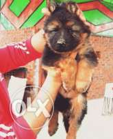 Imported Super German Berge puppies for SALE