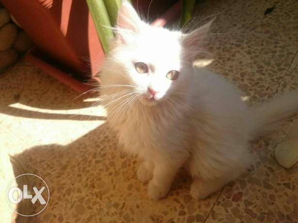 Lovely white cat for sale
