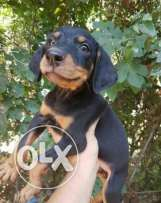 Puppies doberman for sale