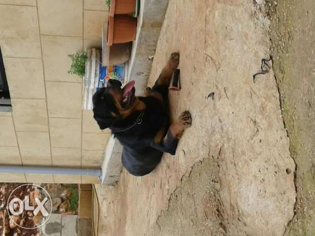 Male rott for mating