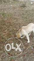 Golden retriever puppy for sale top breed