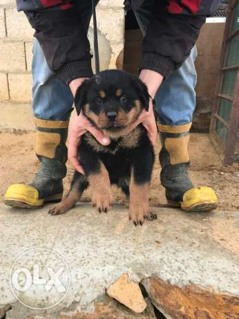 puppies Rottweiler giant