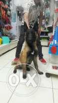 Malinois male 5 month for sale