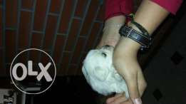 Dogs bichon for sale or trade 3ala moto aw atv