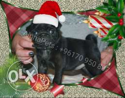 Imported Black Pug puppy