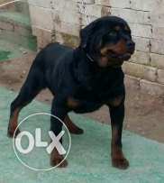 Male rottweiler for sale 2 year
