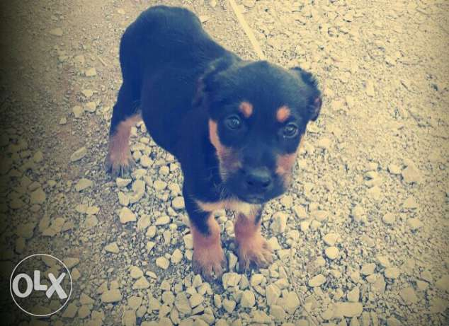 Rottweiler pure