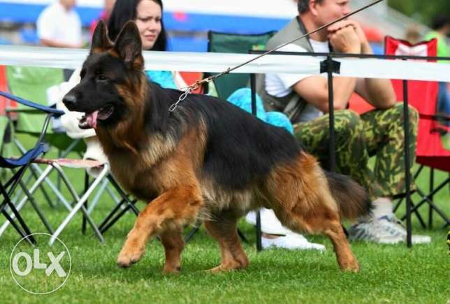 Top longhaired german shepherd for sale from multi-champion كسروان -  8