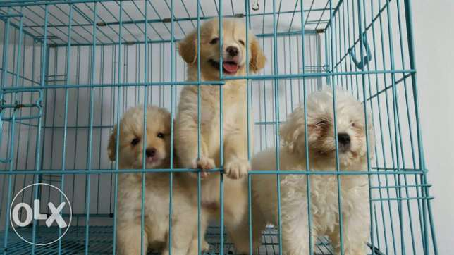 Puppies bichon for sale