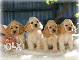 Puppies American Cocker Spaniel