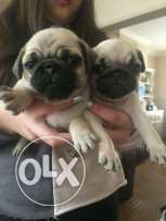 Pug puppies . Pedigree . microchip.Ukrainian passport.