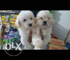 Bichon puppies adorable