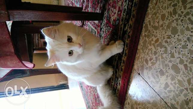 Angora white cat for sale