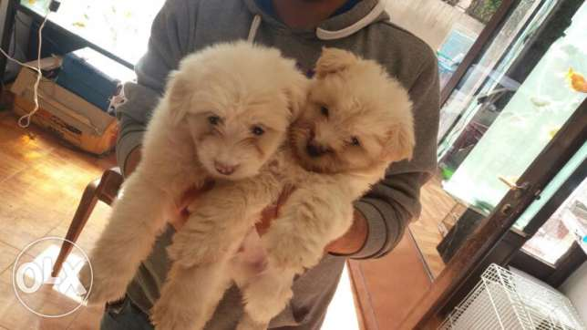 Puppies male bichon
