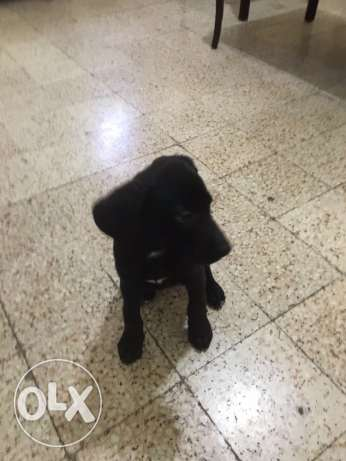 labrador for sale سن الفيل -  3