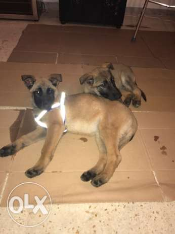 2 Malinois for the price of 1 !