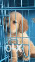 golden retriever puppies & veccinated mal