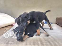 Mixed Dogs For Sale