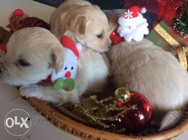 Loulou Spitz Puppies Ideal Gift for Christmas انطلياس -  6