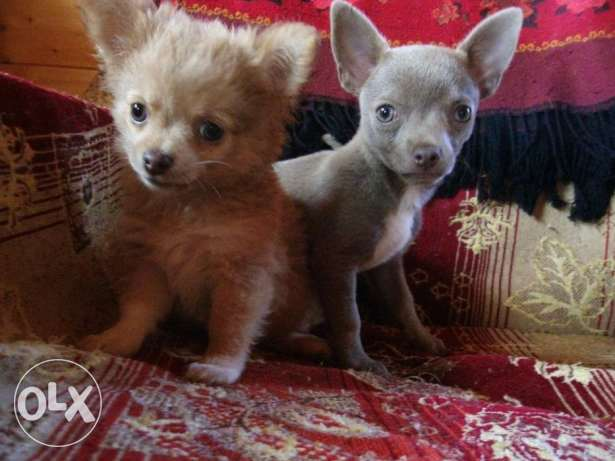For sale puppies chihuahuas rare color