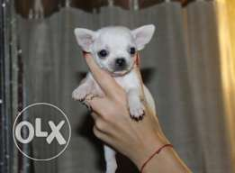 Puppies chihuahua teacup