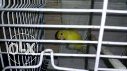 Melinois canary ايطالي لغه