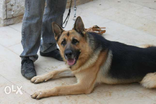 Fully Trained German sheperd for sale