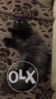 persian male cat 6 month old super cute wbyfham