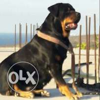 Rottweiler champion size for sale