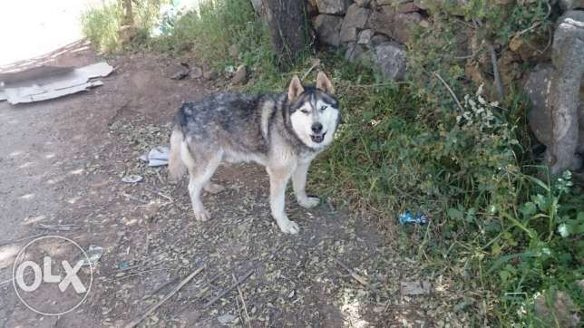 siberyan huskey for sale or trade 3a pit