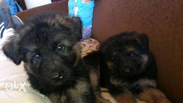 Gsd long hair pure for sale father and mothe pedigree