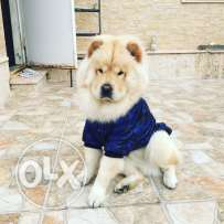 marriage chow chow 2 years old