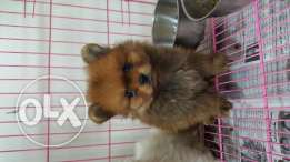 Pomeranian Puppy For (((700$)))