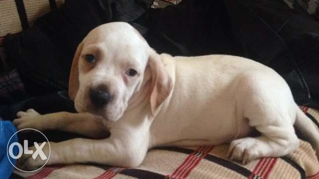 English pointer for sale