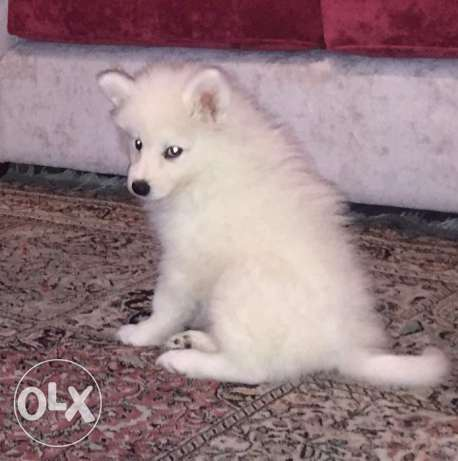 Samoyed Pure Puppy for Sale