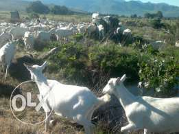 Buy alpine and saanen goats at good price
