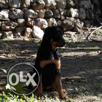 Roteweiler for sale pure