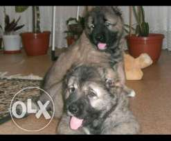 Puppies Caucasian Shepherd