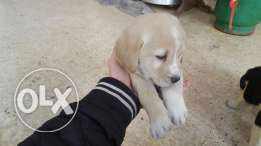 labrador mix golden