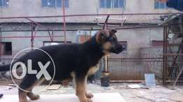 berger allemend for sale 3 mois 2 Male & 2 Female