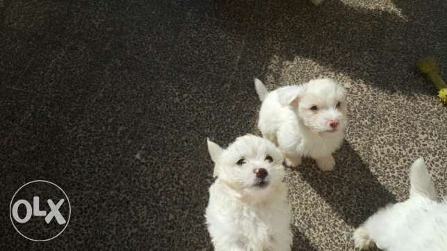 Bichon puppies for sale 200$