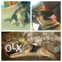 Famas male pure gsd king size for mating mn chi enteye pure mtlo