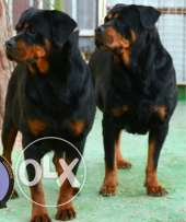 2 female rottweiler for sale 2 year