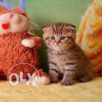 scottish fold tiger
